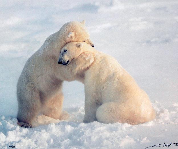 Bear Hug  Panorama by Thomas Mangelsen