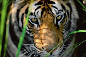 Tiger Eyes Panorama - Thomas Mangelsen
