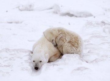 Polar Comfort   Panorama - Thomas Mangelsen