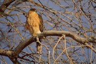 Morning Roost - Cooper's Hawk Panorama by Thomas Mangelsen - 0