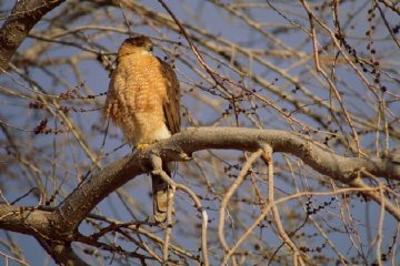 Morning Roost - Cooper's Hawk Panorama - Thomas Mangelsen