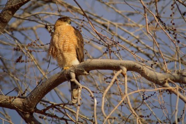 Morning Roost - Cooper's Hawk Panorama by Thomas Mangelsen