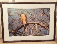 Morning Roost - Cooper's Hawk Panorama by Thomas Mangelsen - 8