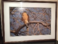 Morning Roost - Cooper's Hawk Panorama by Thomas Mangelsen - 1