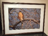 Morning Roost - Cooper's Hawk Panorama by Thomas Mangelsen - 2