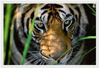 Tigers Eyes Panorama by Thomas Mangelsen - 1