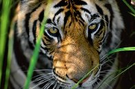 Tigers Eyes Panorama by Thomas Mangelsen - 0