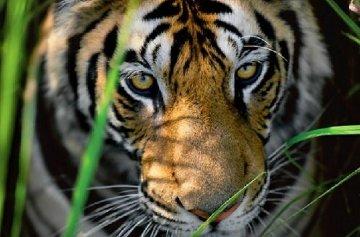 Tigers Eyes Panorama by Thomas Mangelsen
