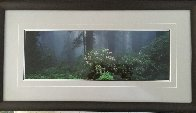 Serenity - Rhododendrons and Redwoods AP Panorama by Thomas Mangelsen - 2