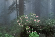 Serenity - Rhododendrons and Redwoods AP Panorama by Thomas Mangelsen - 0