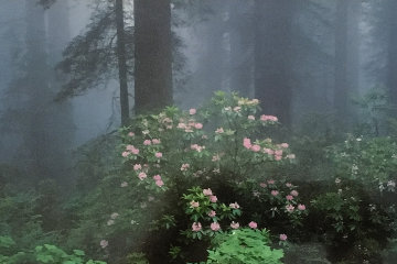 Serenity - Rhododendrons and Redwoods AP Panorama by Thomas Mangelsen