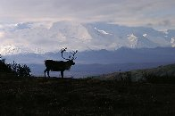 Caribou Country Panorama by Thomas Mangelsen - 6