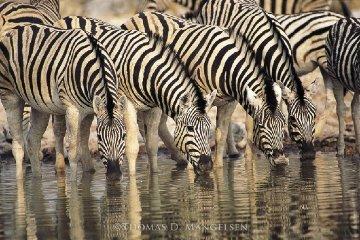 Dry Season - Zebras Panorama by Thomas Mangelsen