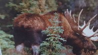 Monarch of the Forest  Panorama by Thomas Mangelsen - 2