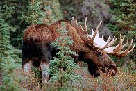 Monarch of the Forest  Panorama by Thomas Mangelsen - 0