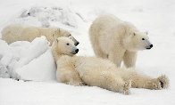 Bad Boys of the Arctic  - Huge Panorama by Thomas Mangelsen - 0