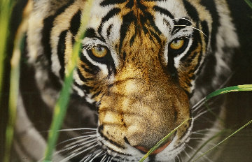Tiger Eyes AP Panorama by Thomas Mangelsen
