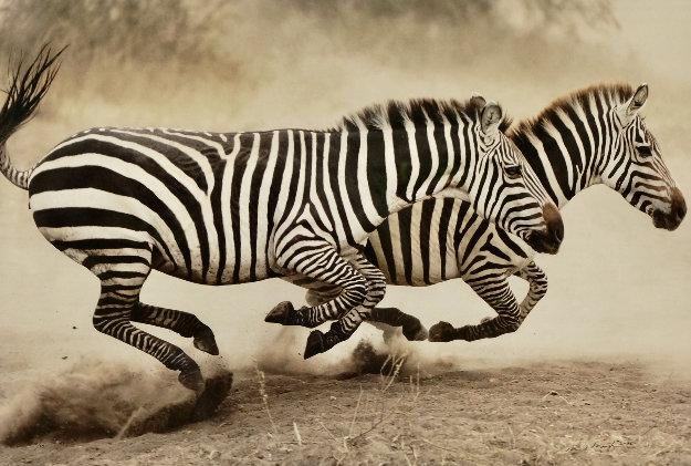 Racing Stripes AP Panorama by Thomas Mangelsen