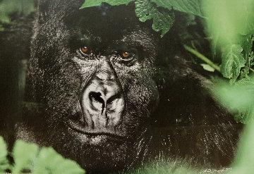 Gentle Giant - The Silverback Panorama by Thomas Mangelsen