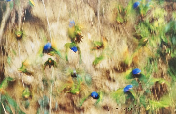 On the Wing - Blue Headed Parrots Panorama by Thomas Mangelsen