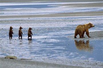Bearwatch 2004 Panorama by Thomas Mangelsen