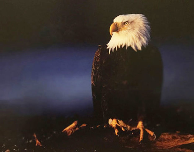 His Majesty - Bald Eagle 2000 Panorama by Thomas Mangelsen