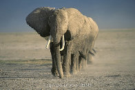 Amboseli Crossing Panorama by Thomas Mangelsen - 0