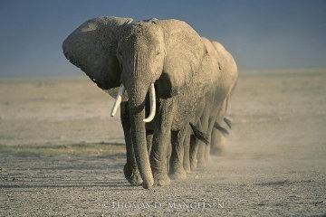 Amboseli Crossing Panorama by Thomas Mangelsen
