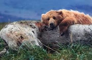 Life's a Bear  Panorama - Thomas Mangelsen