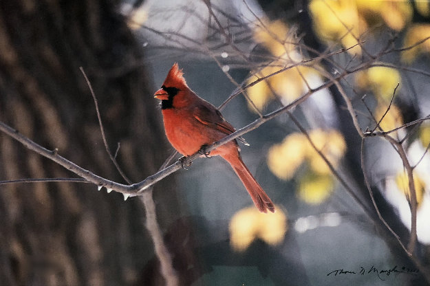When Winter Comes-Cardinal 2000 Panorama by Thomas Mangelsen