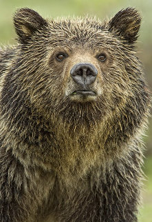 Eyes of the Grizzly Panorama - Thomas Mangelsen