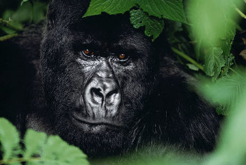 Gentle Giant - The Silverback Panorama - Thomas Mangelsen