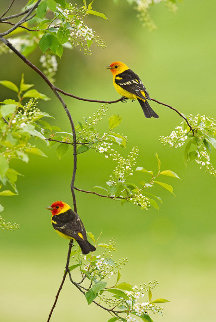 Spring Blossoms - Western Tanagers 2010 Panorama by Thomas Mangelsen