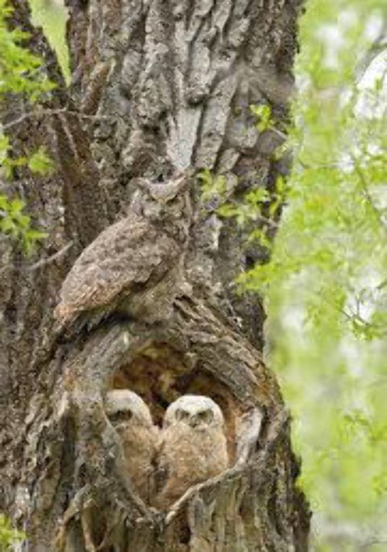 Cottonwood Hollow - Great Horned Owls 2015 Panorama by Thomas Mangelsen