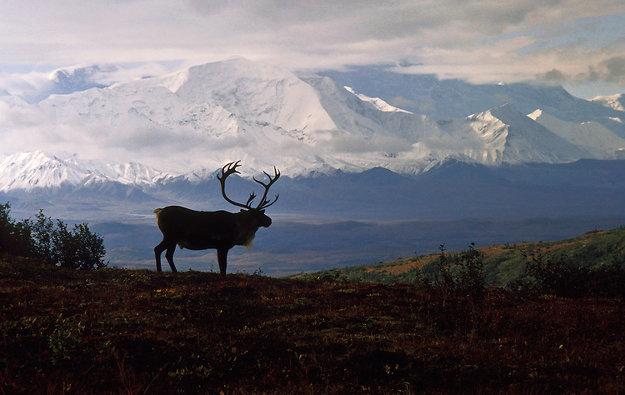 Caribou Country - Idaho Panorama by Thomas Mangelsen
