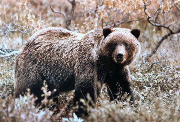 Autumn Grizzly  Panorama - Thomas Mangelsen