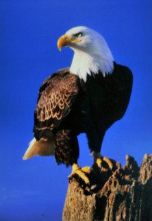Lookout - Bald Eagle   Panorama - Thomas Mangelsen