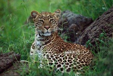 African Nightfall: Leopard 1987 Panorama by Thomas Mangelsen