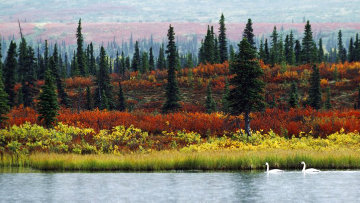 Indian Summer - Tundra Swan 1986 Panorama by Thomas Mangelsen