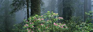 Among the Redwoods Super Huge Panorama - Thomas Mangelsen