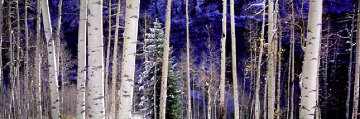 White River Aspens 1.5M Super Huge Panorama - Thomas Mangelsen
