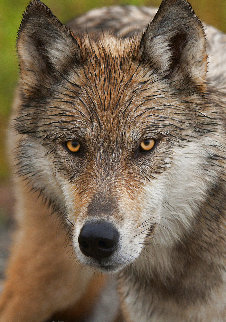 Eyes of the Wolf Panorama - Thomas Mangelsen