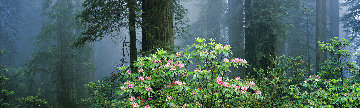 Under the Redwoods Panorama - Thomas Mangelsen