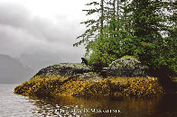 Guardian of Knight Inlet  Photography by Thomas Mangelsen - 0
