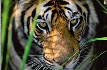 Tiger Eyes  Panorama by Thomas Mangelsen
