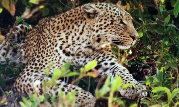 Eye of the  Leopard  Panorama by Thomas Mangelsen