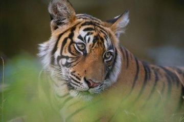 Tiger Fire  Panorama - Thomas Mangelsen