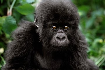 Baby Face - Mountain Gorilla  Panorama by Thomas Mangelsen