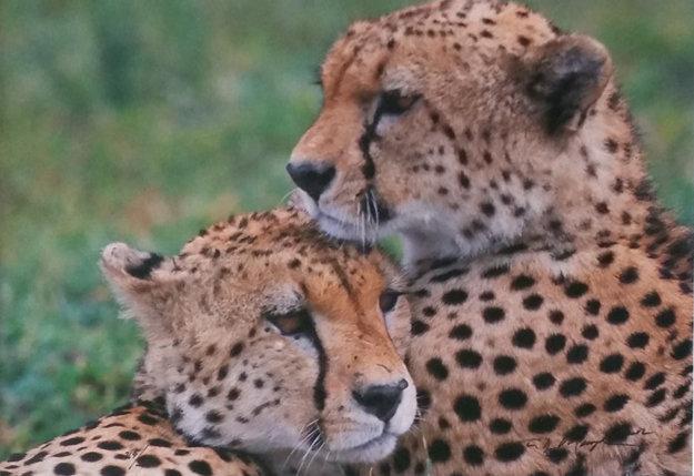 Bond - Cheetahs  Panorama by Thomas Mangelsen
