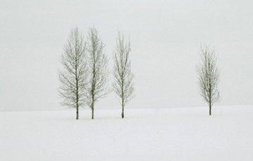 Winter Aspens   Panorama by Thomas Mangelsen